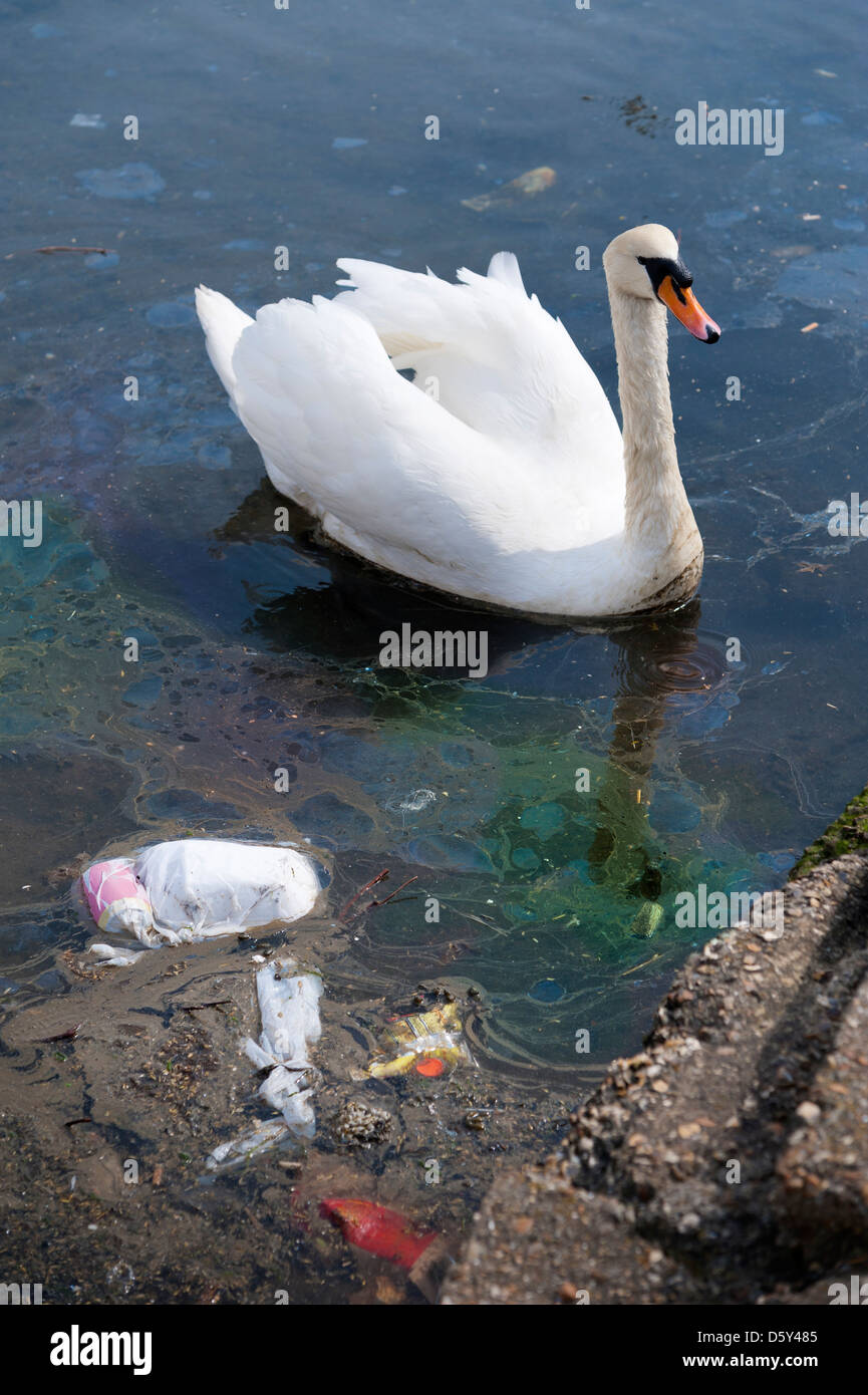 El Cisne en el agua contaminada con residuos de contaminación de plástico y una mancha de aceite Imagen De Stock