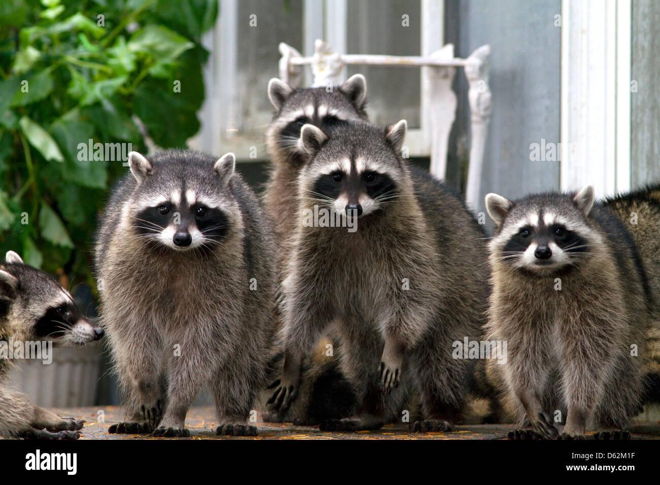 Los mapaches en Shelton, Washington, EE.UU. Imagen De Stock