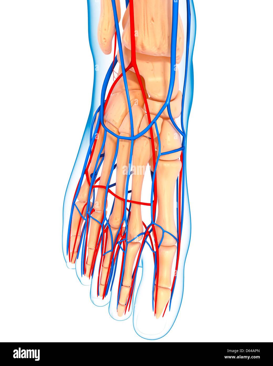 Human Vascular System Foot Imágenes De Stock & Human Vascular System ...