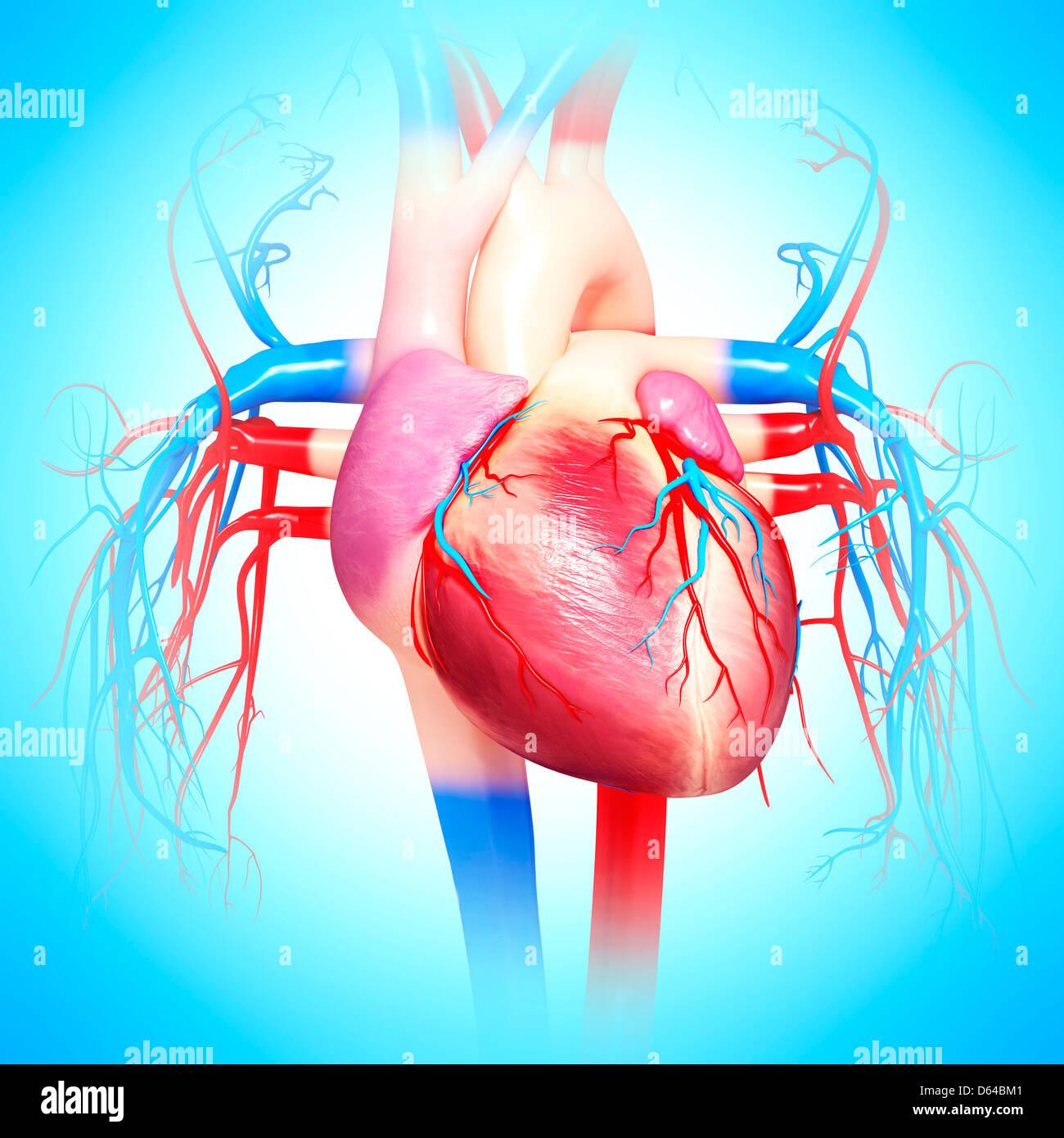 Corazón humano, obras de arte Foto & Imagen De Stock: 55416033 - Alamy