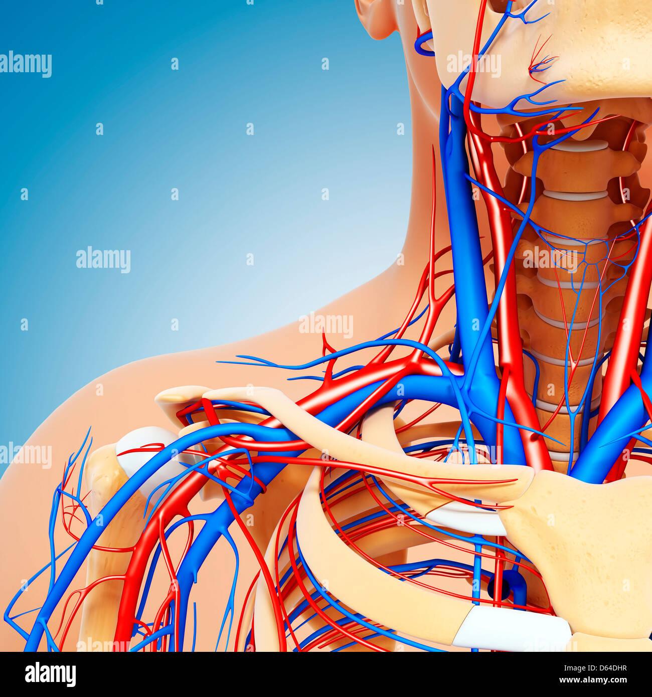 Anatomía de la parte superior del cuerpo, arte Imagen De Stock