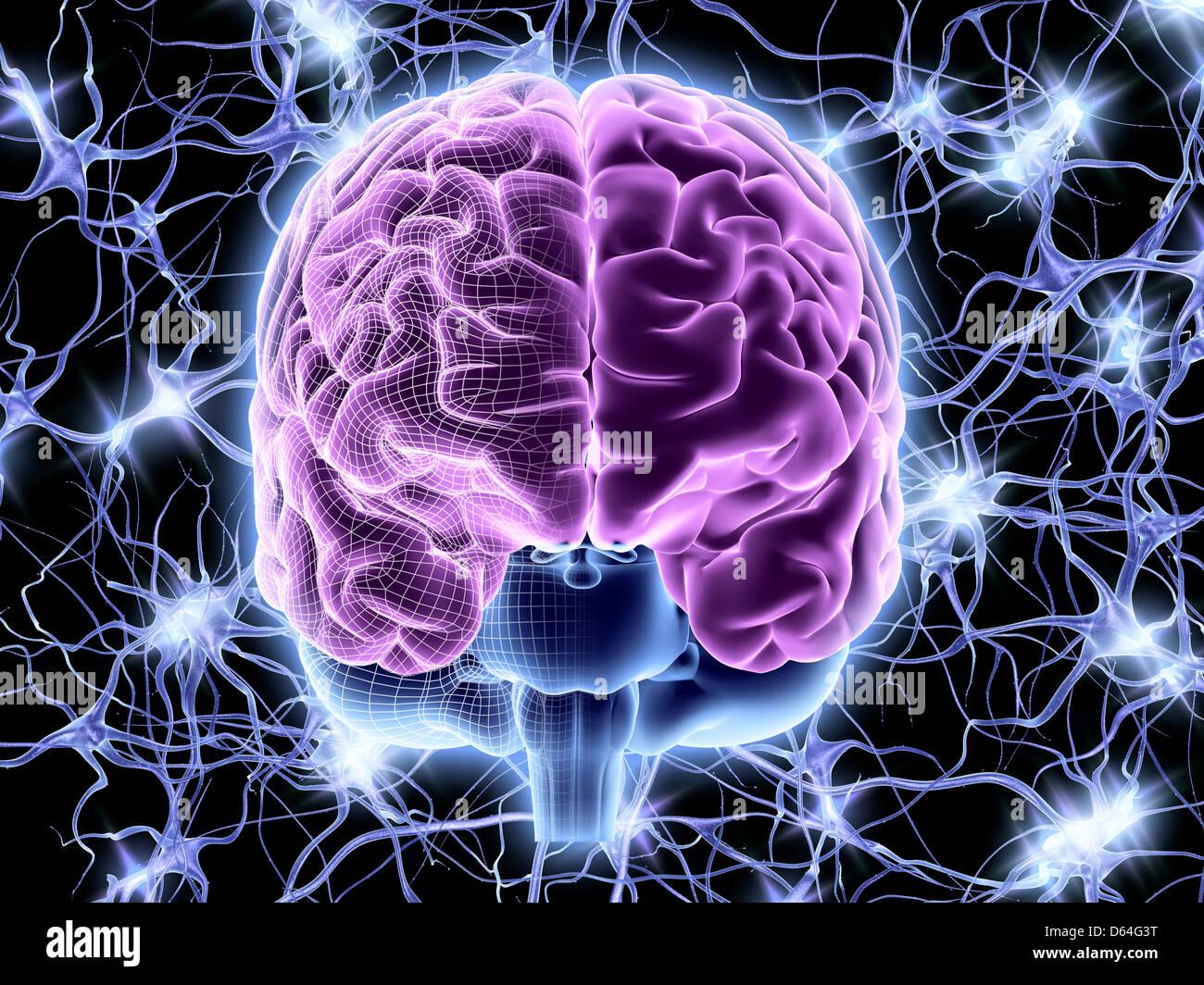 Cerebro y las células nerviosas, la red neuronal Imagen De Stock
