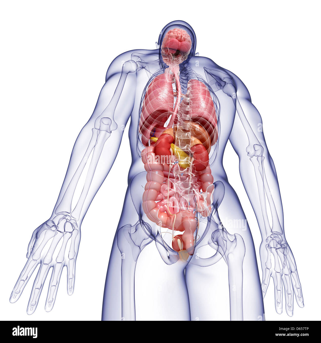Pancreas And Kidney Imágenes De Stock & Pancreas And Kidney Fotos De ...