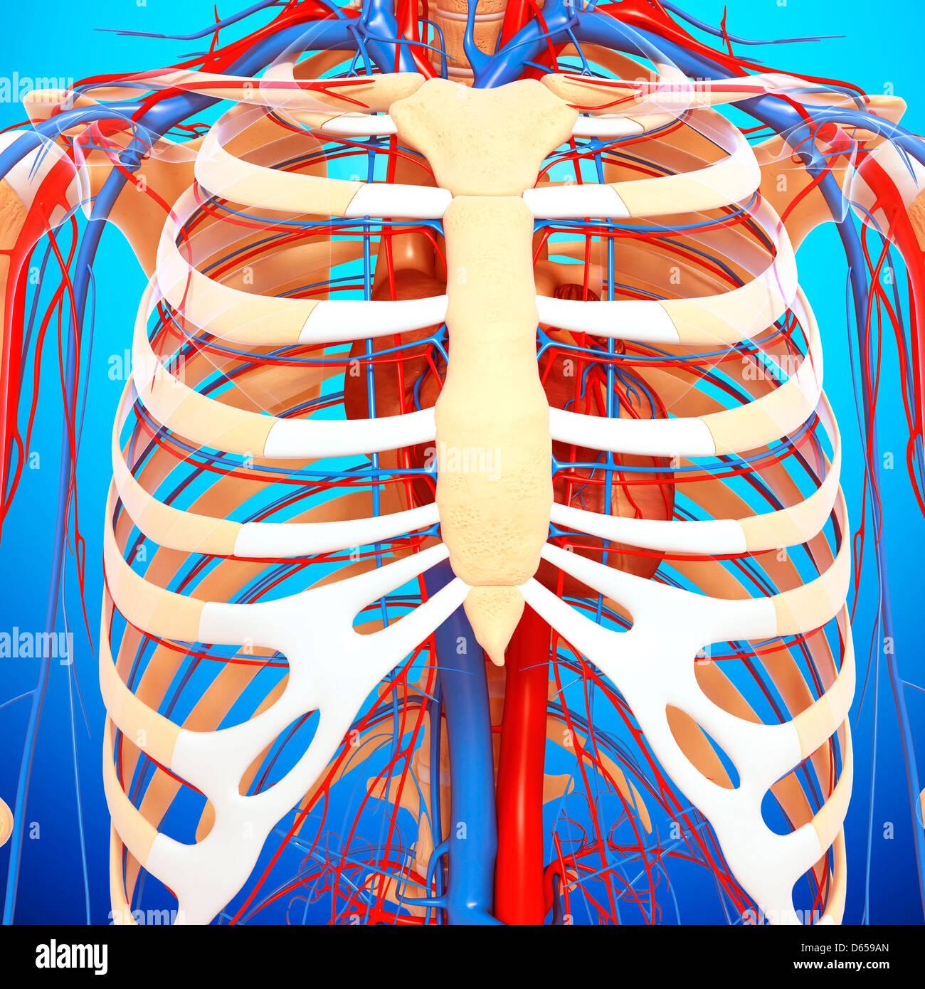 Anatomía del pecho, ilustraciones Foto & Imagen De Stock: 55436157 ...