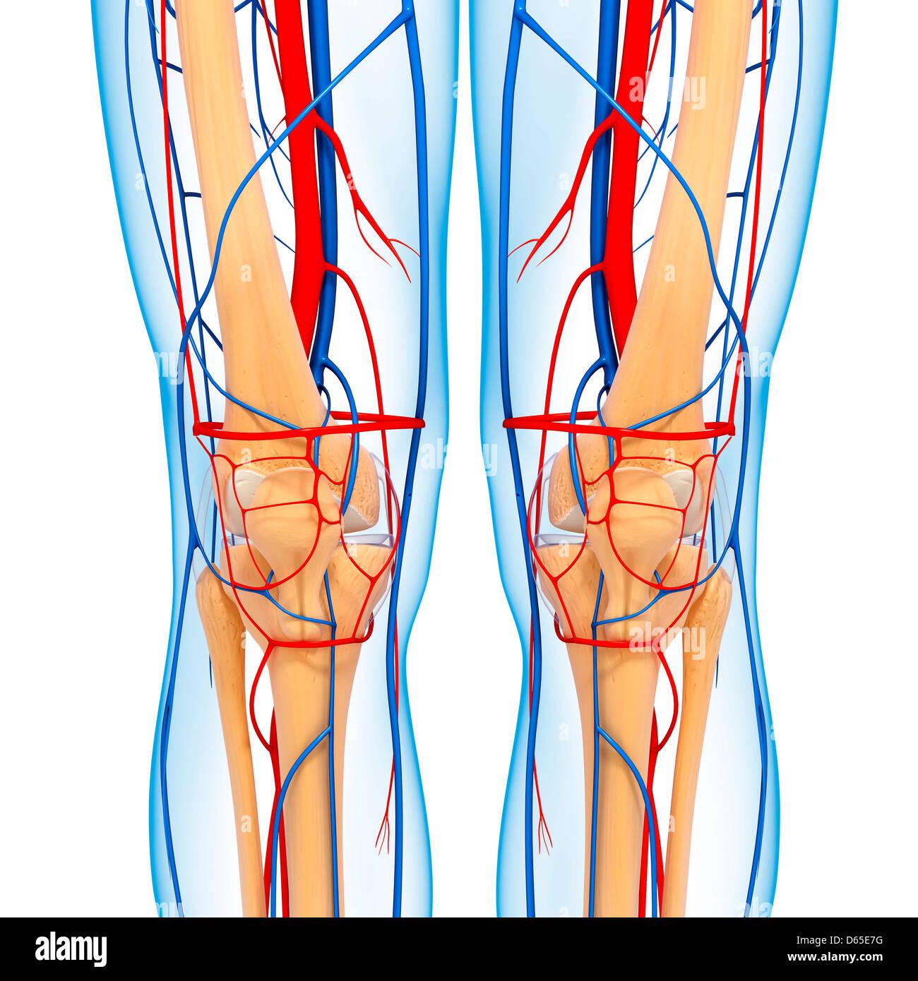 Anatomía de la rodilla, ilustraciones Foto & Imagen De Stock ...