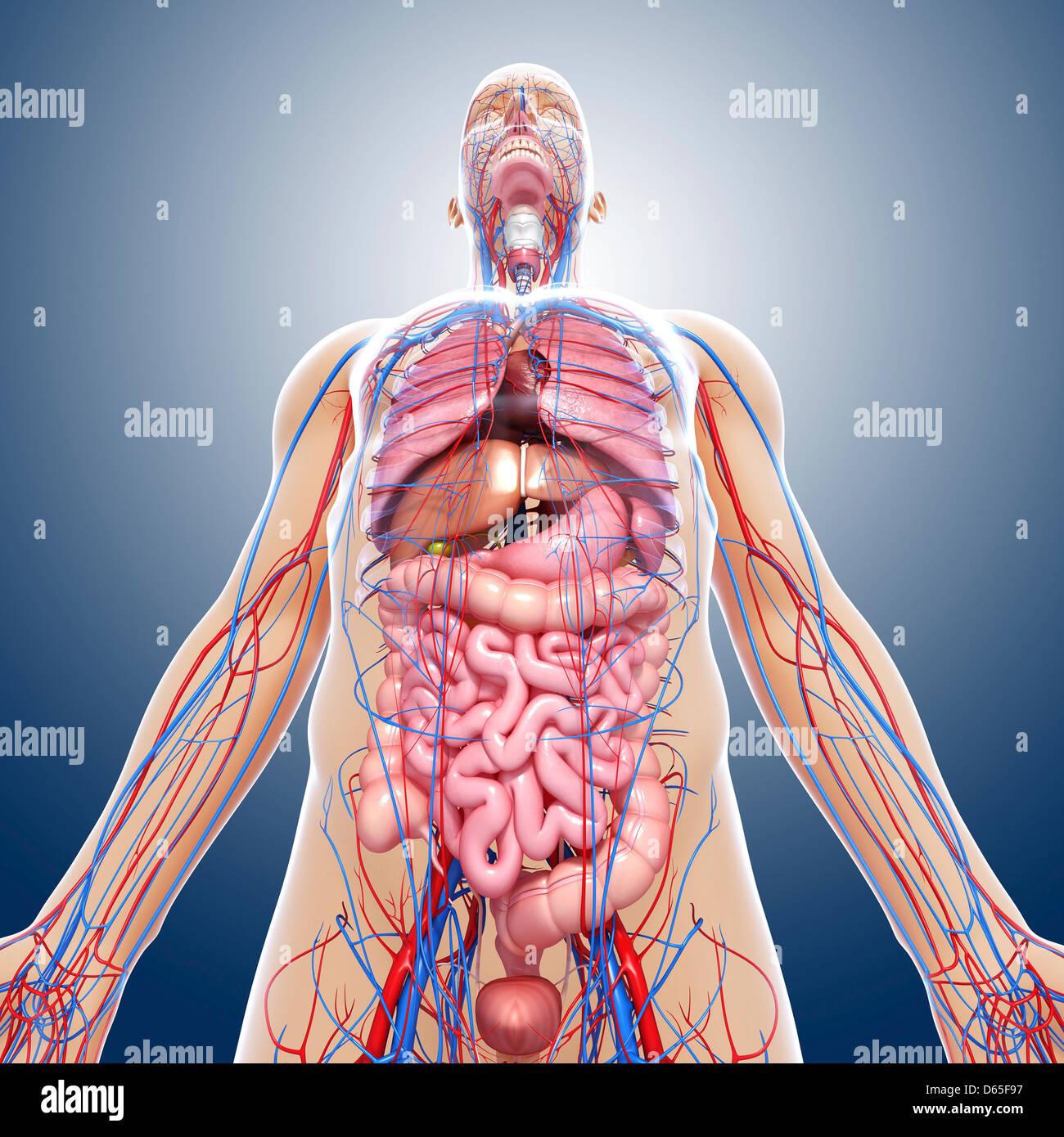 Anatomía masculina, ilustraciones Foto & Imagen De Stock: 55440819 ...