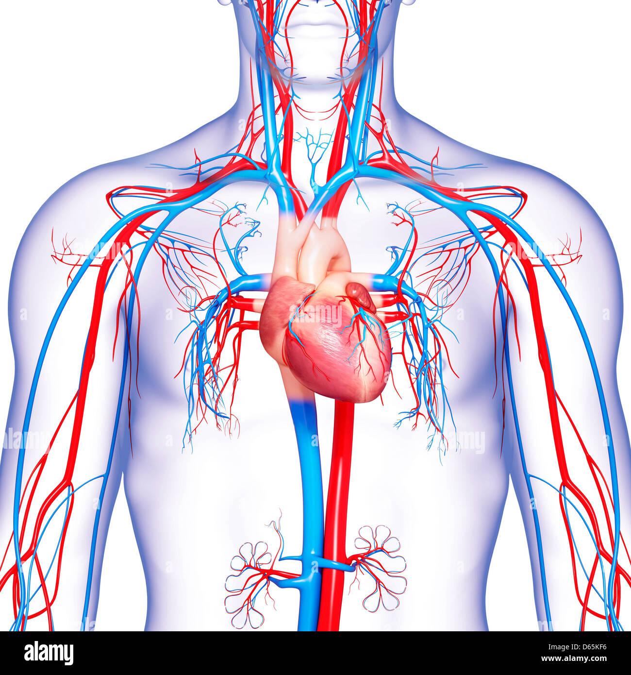 Sistema cardiovascular, ilustraciones Foto & Imagen De Stock ...