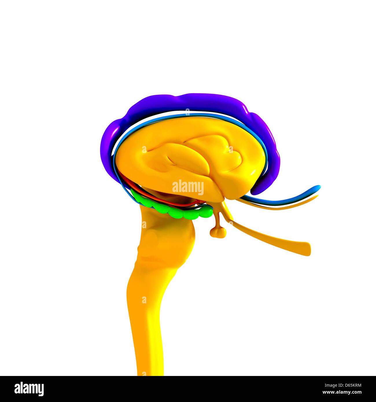 Anatomía del cerebro, las ilustraciones Imagen De Stock