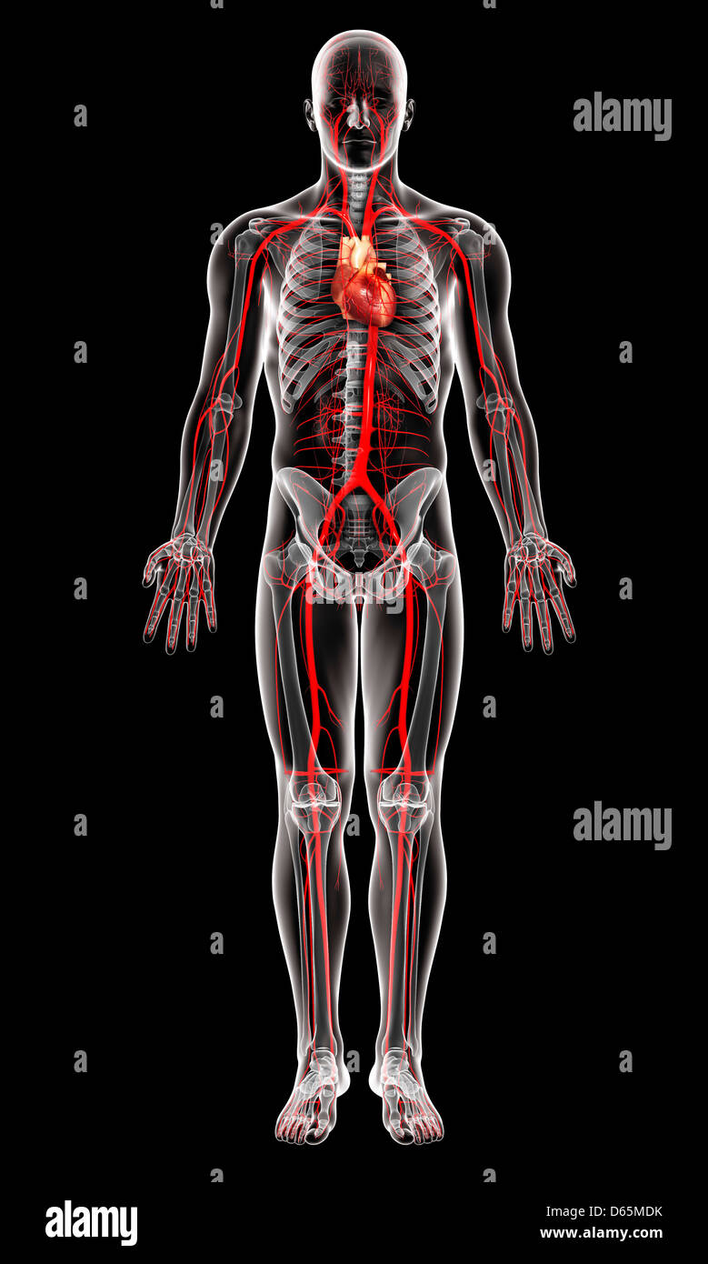 Anatomy And Arteries Imágenes De Stock & Anatomy And Arteries Fotos ...