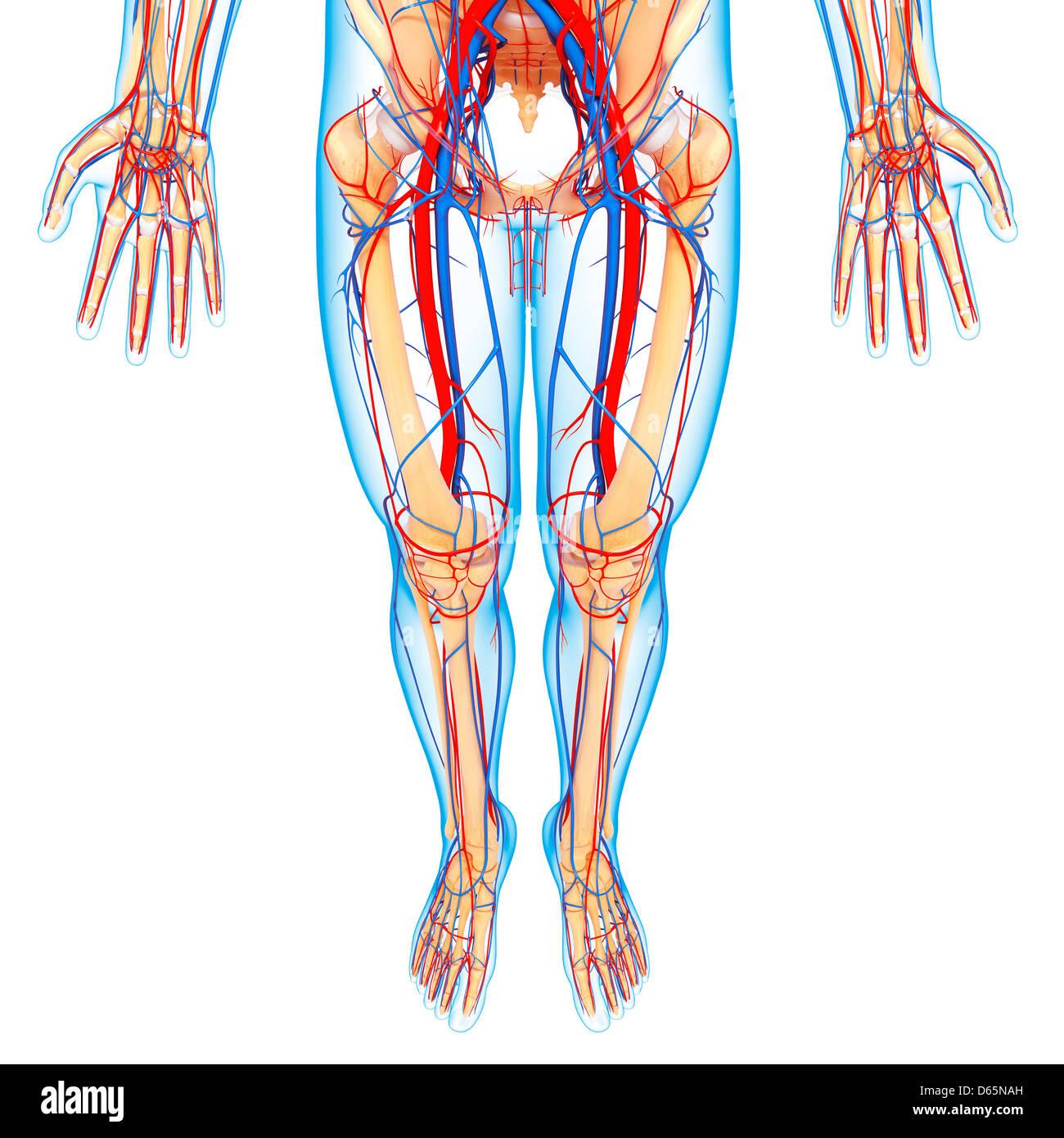 Vascular System Of The Legs Imágenes De Stock & Vascular System Of ...