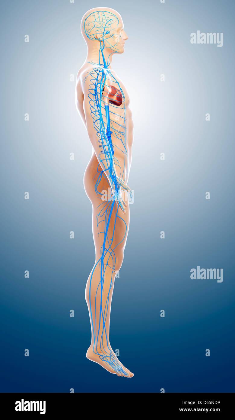 Arteries Veins Imágenes De Stock & Arteries Veins Fotos De Stock - Alamy