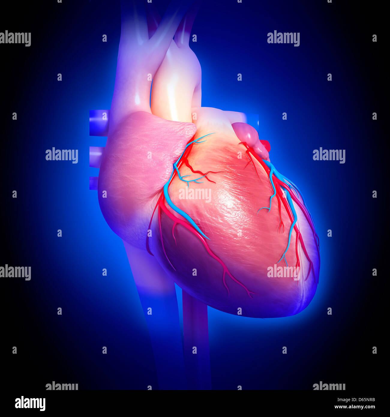 Corazón humano, obras de arte Foto & Imagen De Stock: 55445919 - Alamy