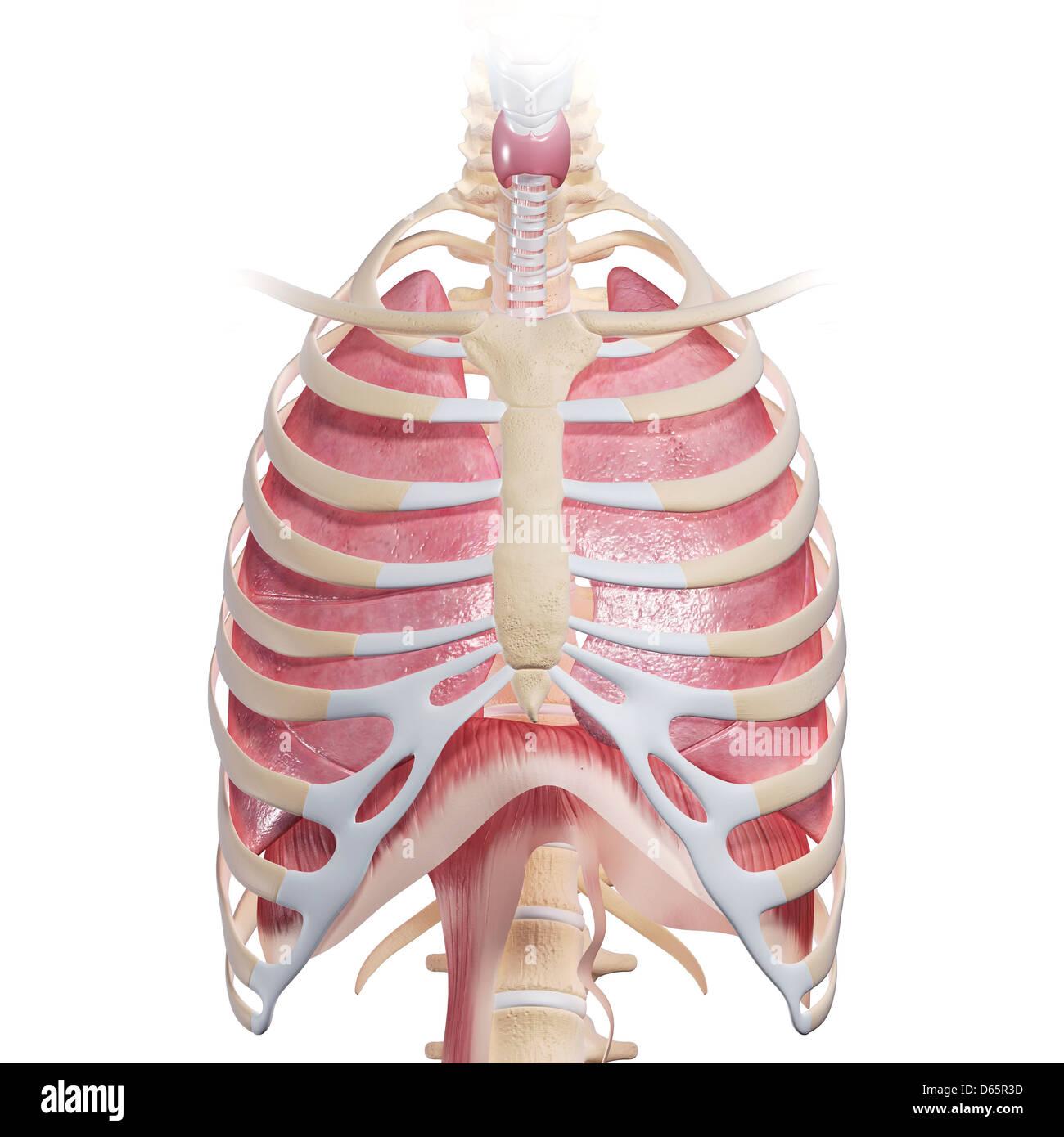 Anatomía del pecho, ilustraciones Foto & Imagen De Stock: 55446929 ...