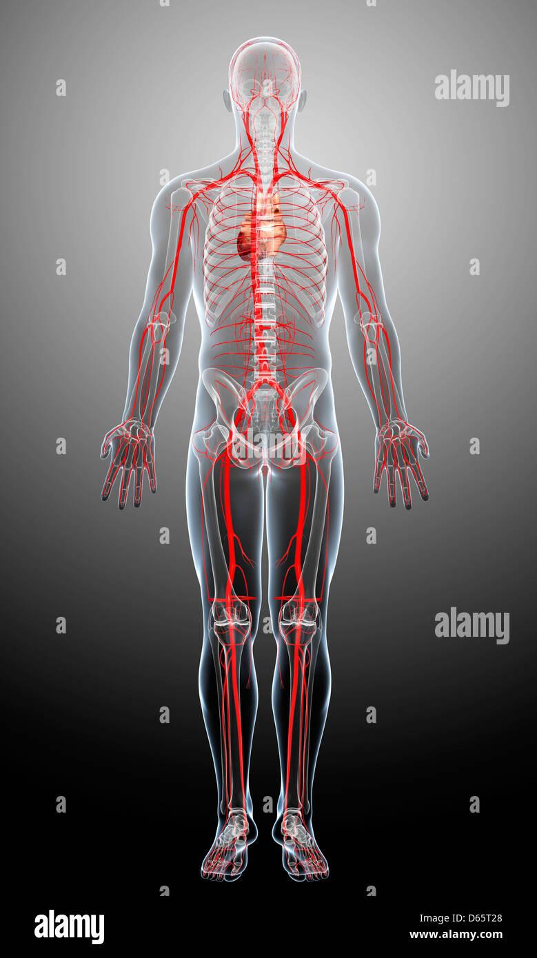 Human Arteries Imágenes De Stock & Human Arteries Fotos De Stock - Alamy