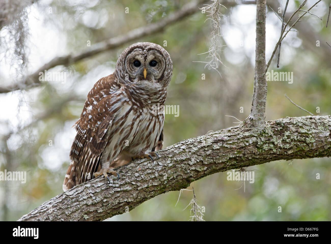 Prohibido Owl en Roble Imagen De Stock