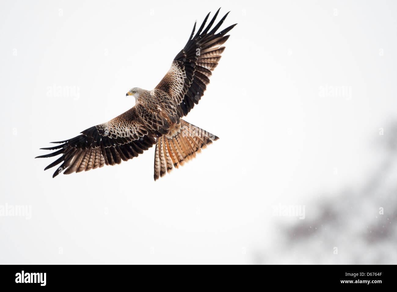 Milvus milvus - milano real en vuelo Foto de stock