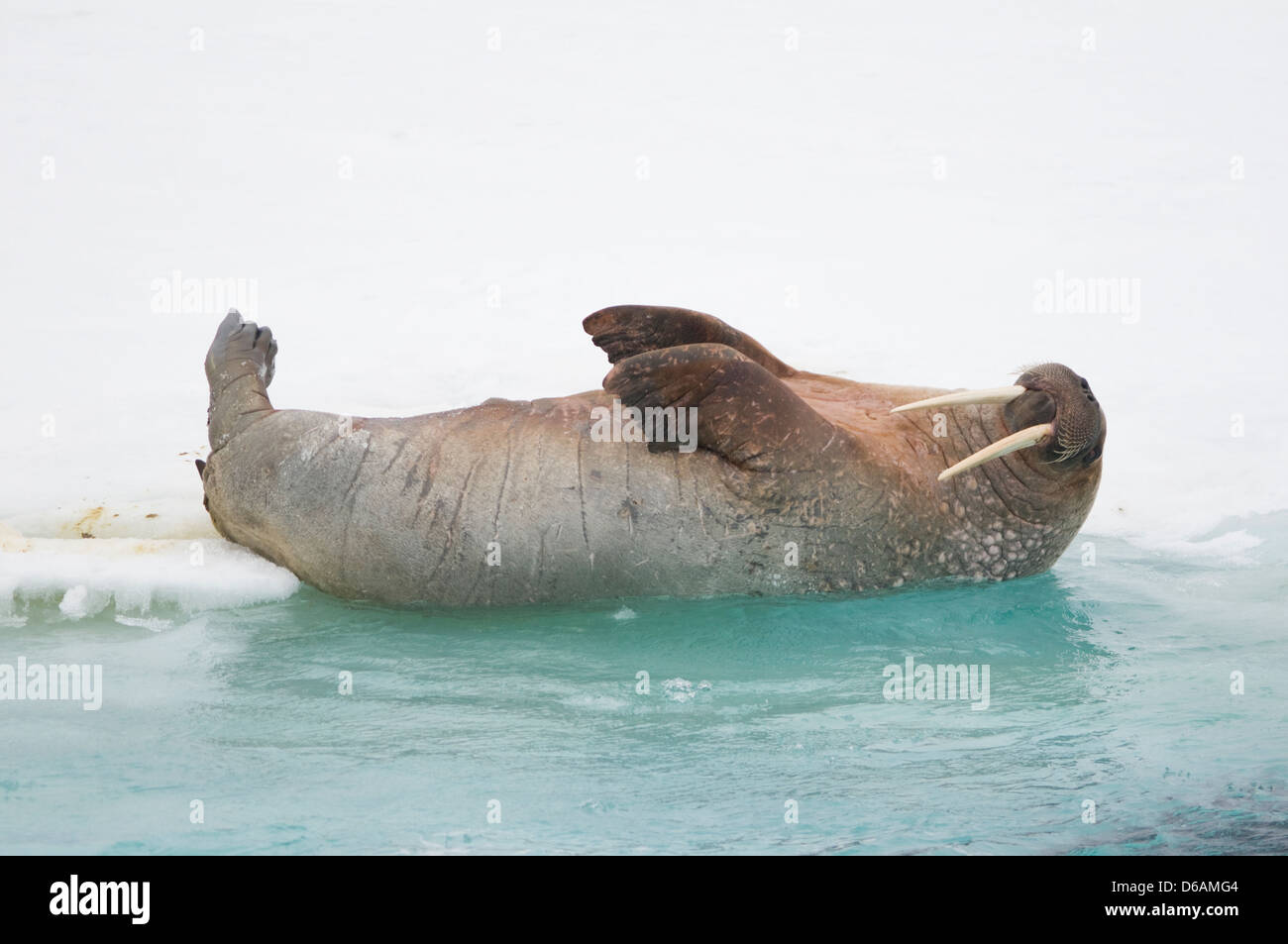 Noruega, el archipiélago de Svalbard, Spitsbergen. La morsa, Odobenus rosmarus, adulto sale de una cubeta de Imagen De Stock