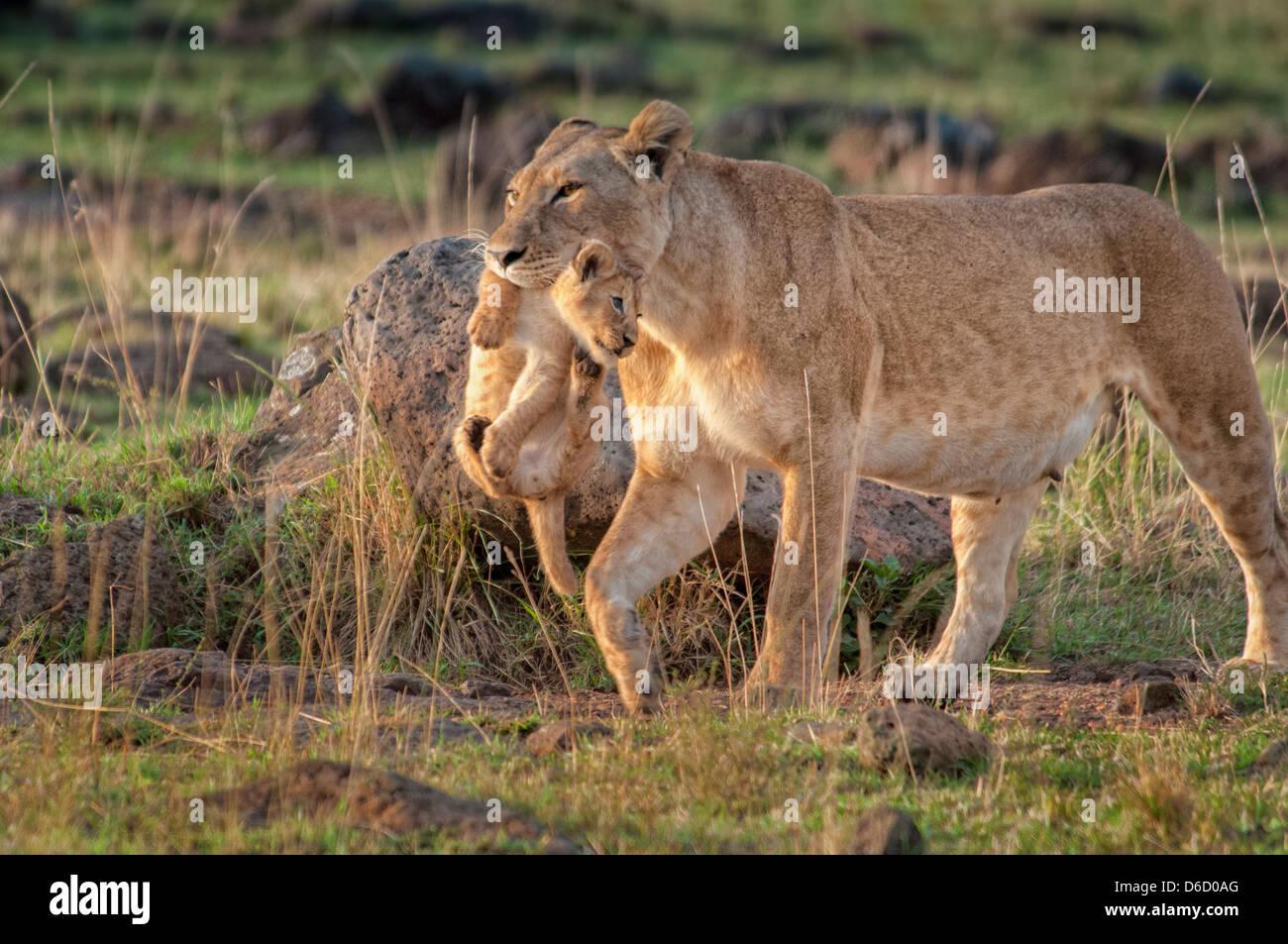 Leona, Panthera leo, llevando un cachorro en su boca, Reserva Nacional de Masai Mara, Kenya, Africa. Imagen De Stock