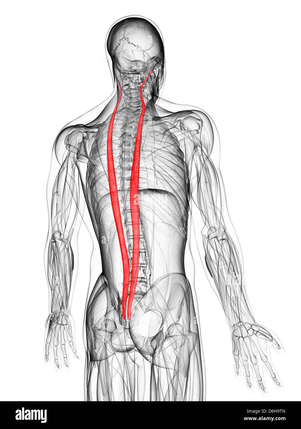 Músculos de la espalda, las ilustraciones Foto & Imagen De Stock ...
