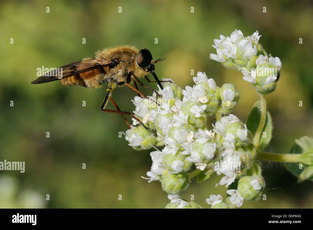 Caballo volar (Pangonius pyritosus) forrajeando para el néctar de orégano (Origanum onites cretense) flores, Lesbos (Lesbos), Grecia, Europa Foto de stock