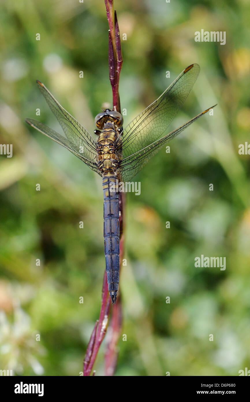Macho joven keeled skimmer dragonfly (Orthetrum coerulescens), apoyándose en el tallo, Lesbos (Lesbos), Grecia, Europa Foto de stock