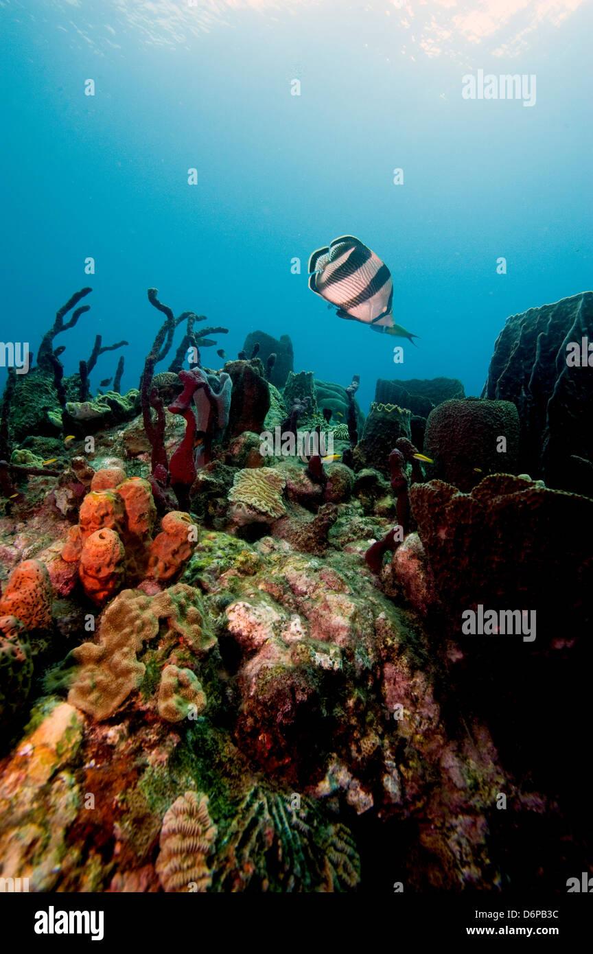 Escena con coral banded butterflyfish (Chaetodon striatus), Dominica, Indias Occidentales, el Caribe, América Imagen De Stock