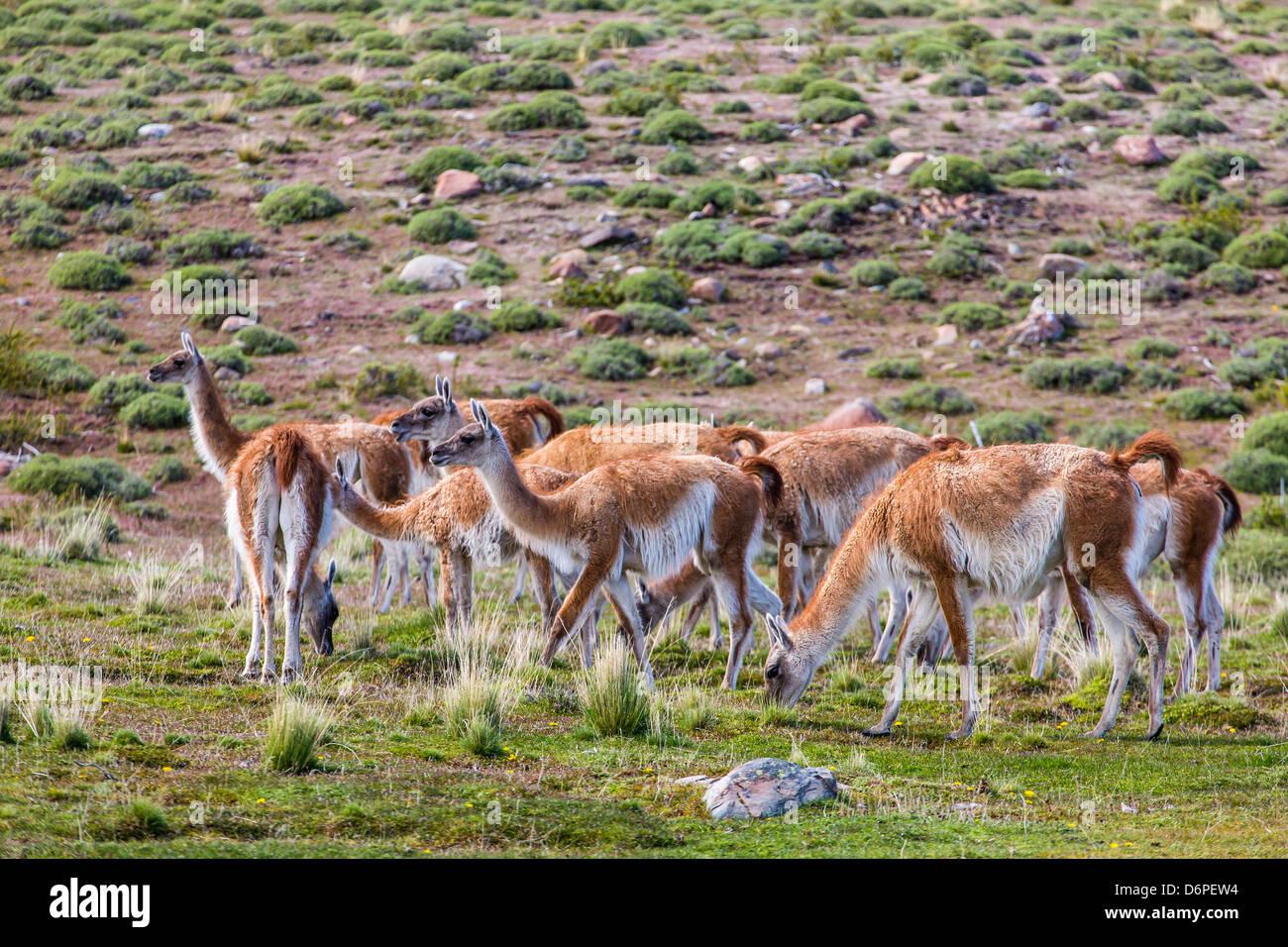 Adulto guanacos (Lama guanicoe), Parque Nacional Torres del Paine en la Patagonia, Chile, Sudamérica Foto de stock