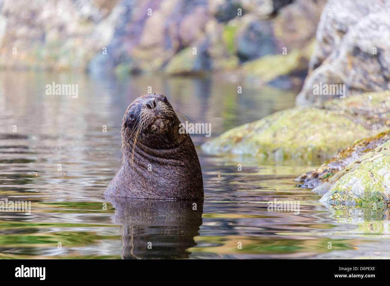 León marino sudamericano (Otaria flavescens) Bull, Seno Agostini Fiordo, Estrecho de Magallanes, Patagonia, Imagen De Stock
