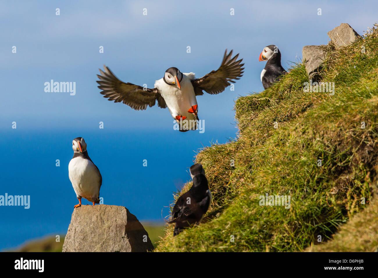 Los frailecillos atlánticos (Fratercula arctica), Mykines Isla, Islas Feroe, Dinamarca, Europa Imagen De Stock