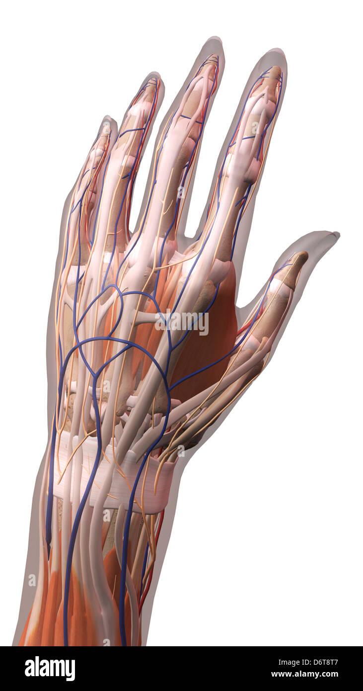 Hembra, los dedos pulgar y anatomía de la muñeca, espalda, posterior ...