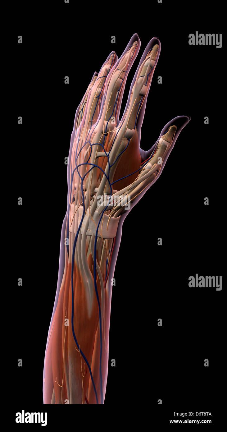 Hembra, los dedos pulgar y anatomía de la muñeca, espalda, vista ...