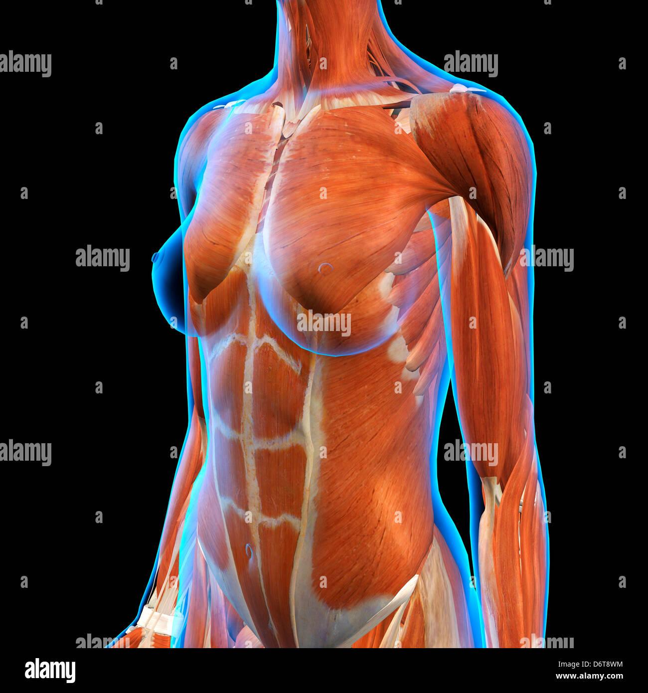 Anatomía de los músculos abdominales pecho femenino en azul de rayos ...
