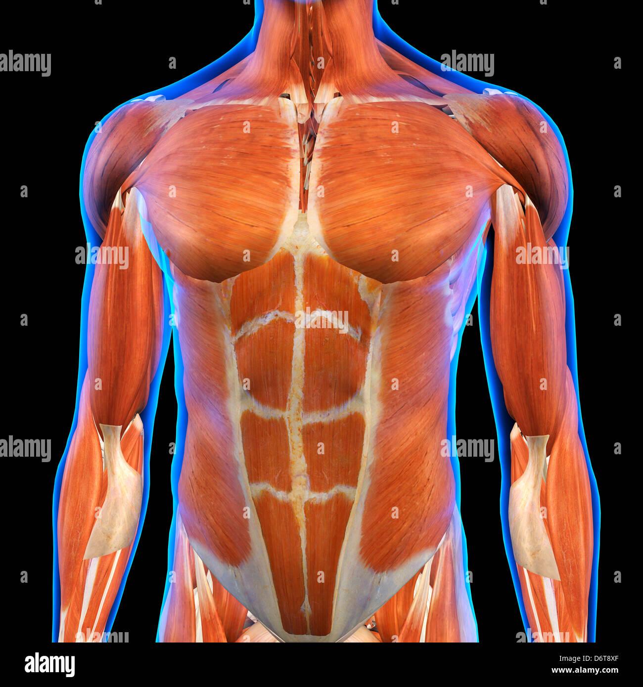 El pecho masculino músculos abdominales anatomía en rayos X Azul ...