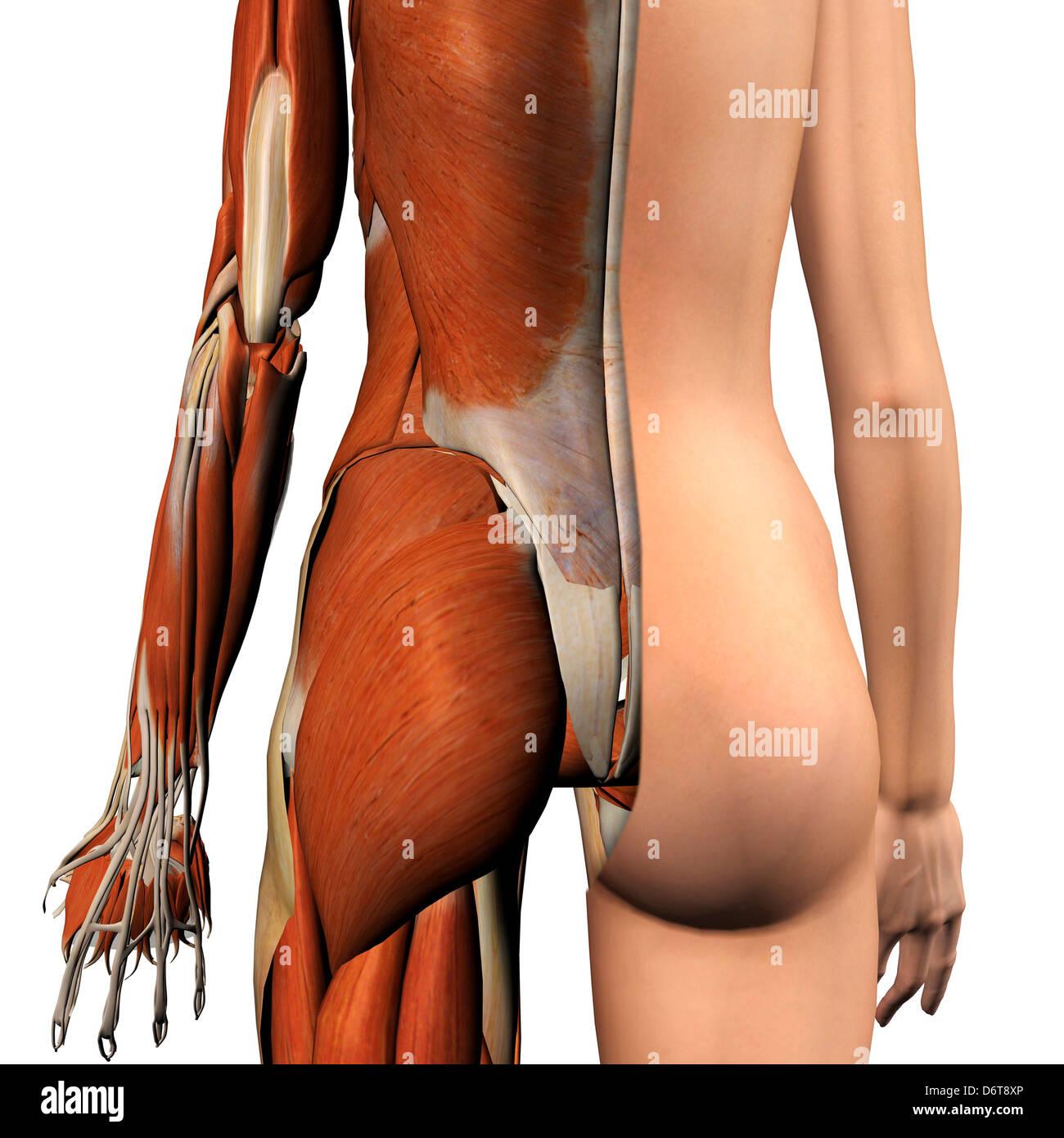 Sección transversal de la anatomía femenina de glúteos y músculos de ...