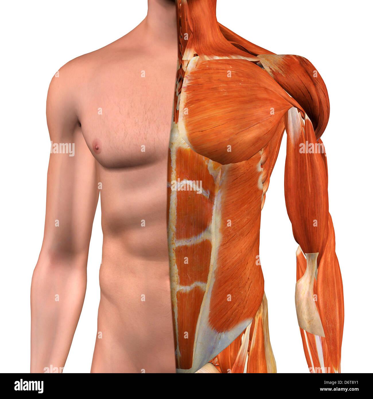 Sección transversal de la Anatomía del pecho masculino , el abdomen ...