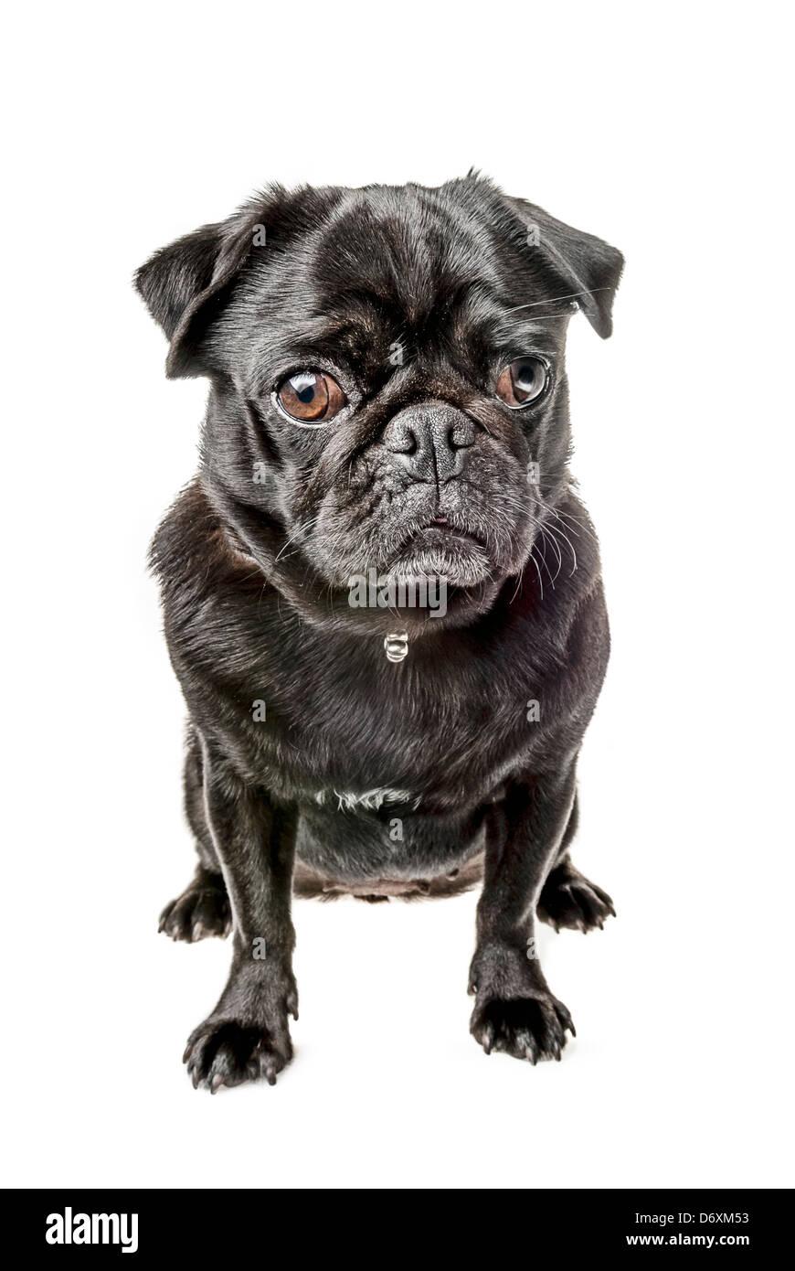 Pug negro, sentado Foto de stock