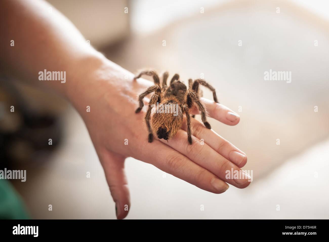 Marrón peluda mascota tarántula sentado en una mano humana Imagen De Stock