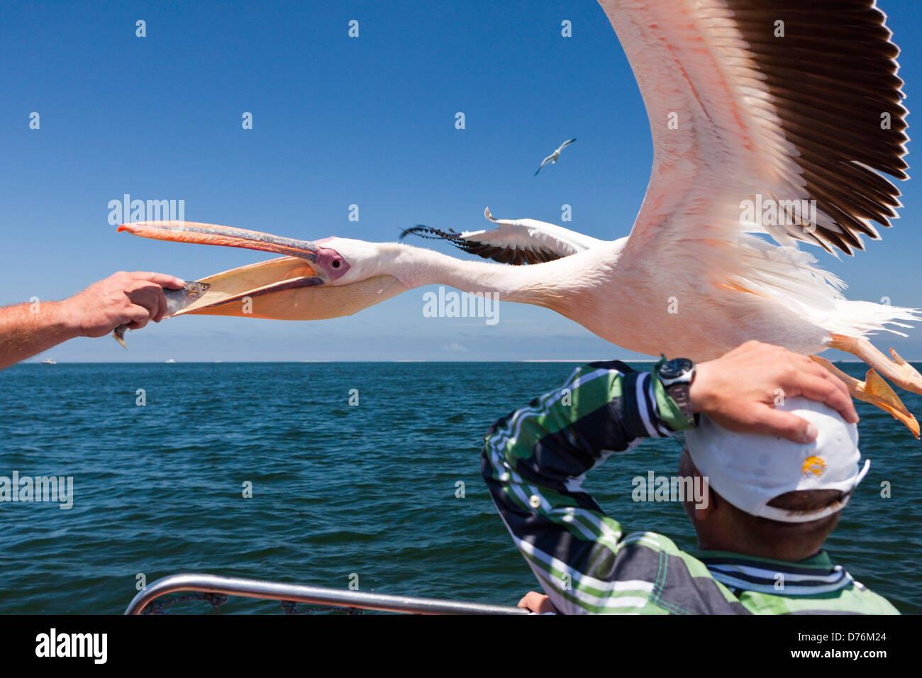 Alimentar a gran Pelecanus onocrotalus, pelícanos blancos, Walvis Bay, Namibia Imagen De Stock