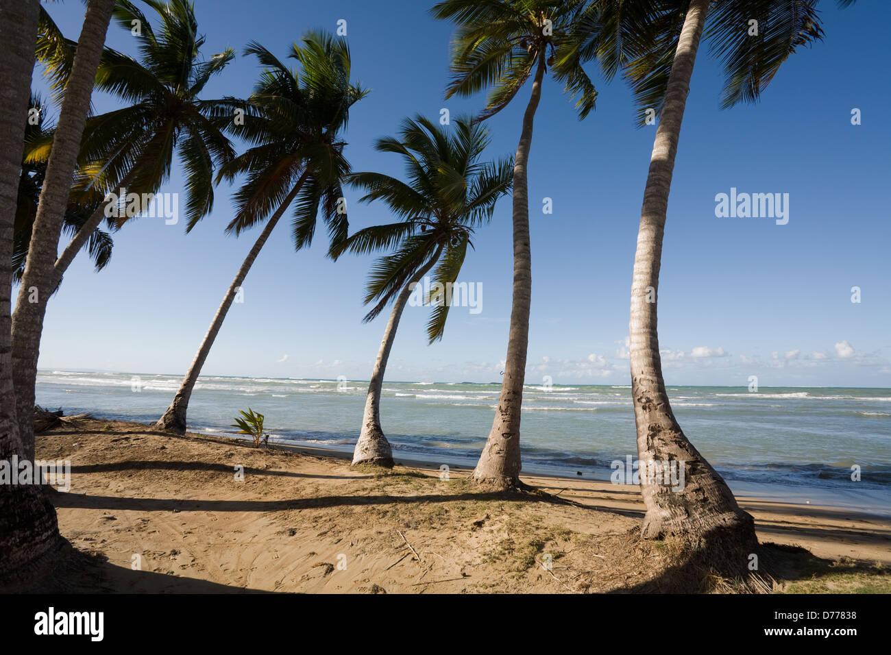 Las Terrenas, República Dominicana, cocoteros en Playa Bonita Beach Imagen De Stock