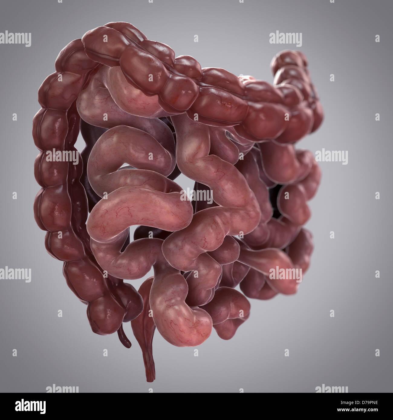 Intestinos humanos Foto & Imagen De Stock: 56149114 - Alamy