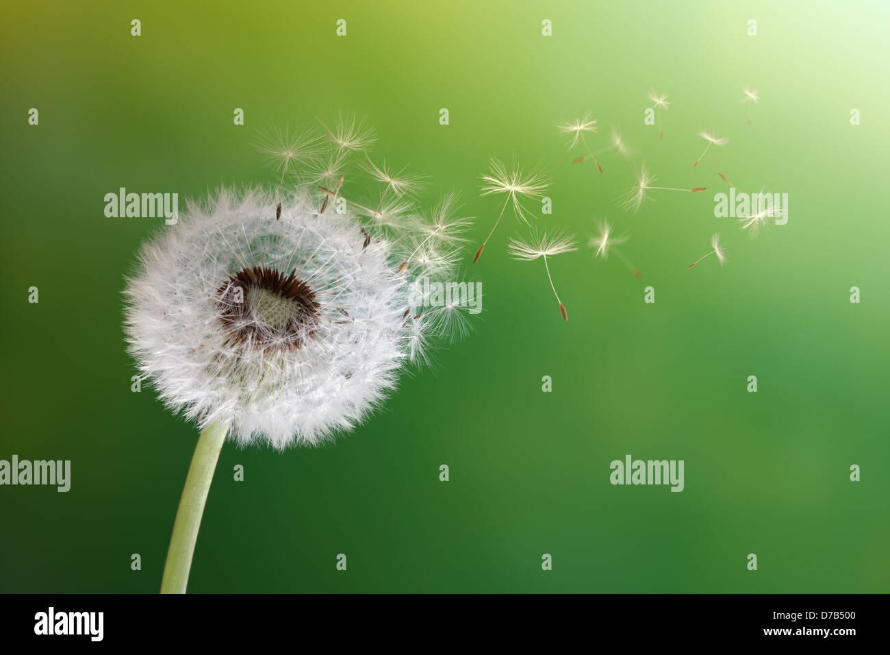 Jaramago reloj en sol de mañana Imagen De Stock
