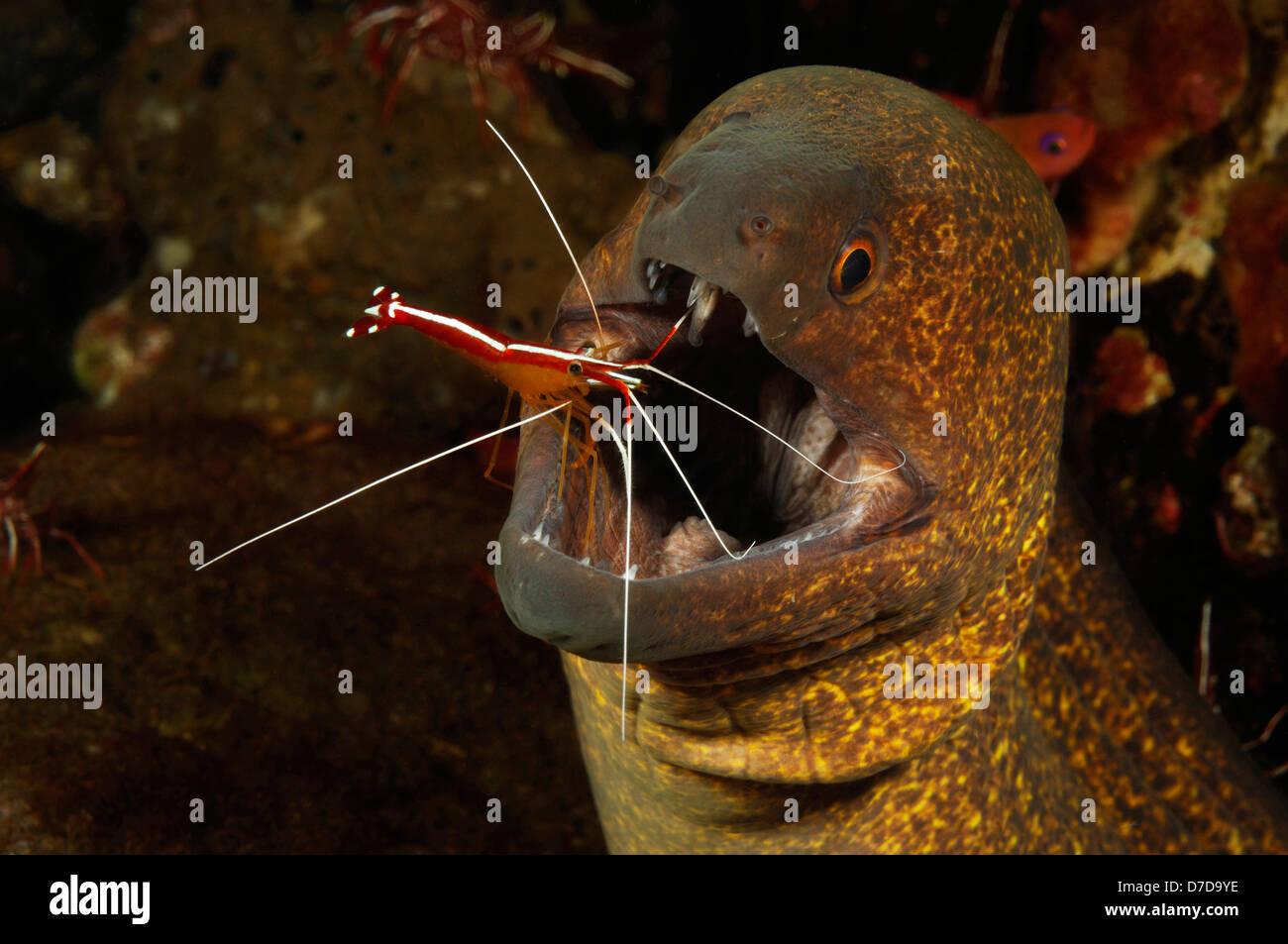 Filo-amarillo Moray limpiados por camarón limpiador de Skunk, Gymnothorax flavimarginatus, Lysmata amboniensis, Imagen De Stock