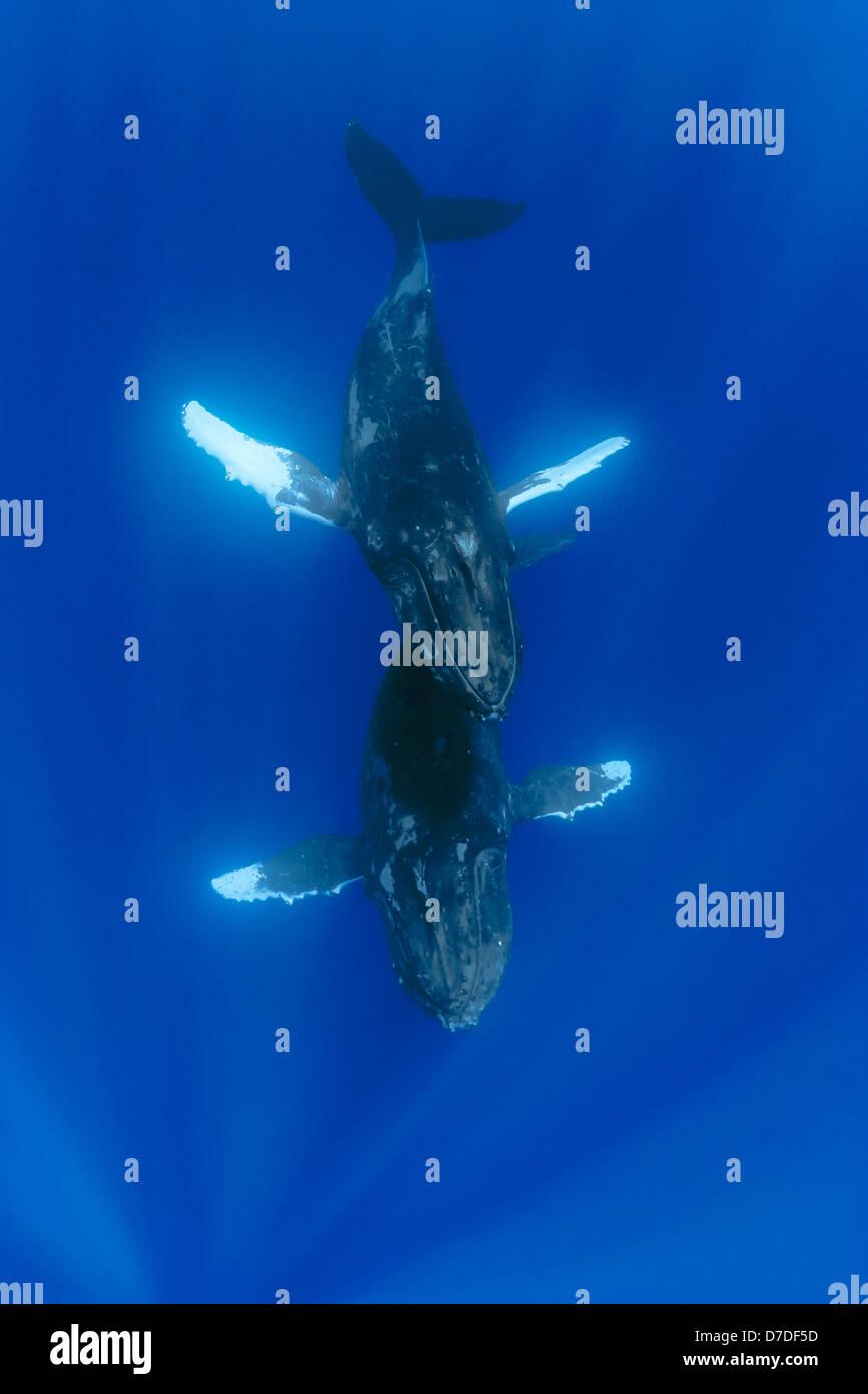 Par de ballena jorobada, Megaptera novaeangliae, Hawaii, EE.UU. Imagen De Stock