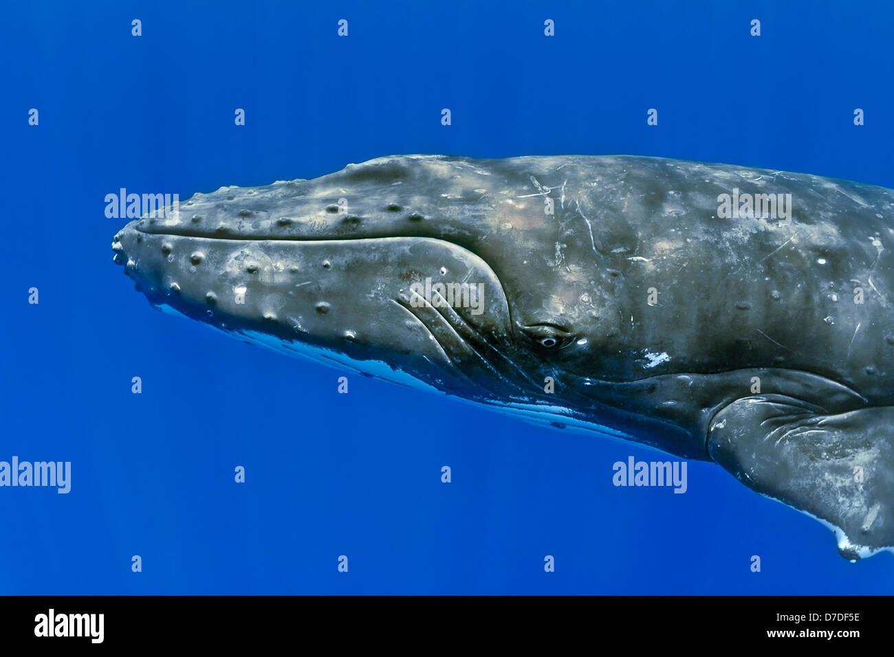 La ballena jorobada, Megaptera novaeangliae, Hawaii, EE.UU. Imagen De Stock