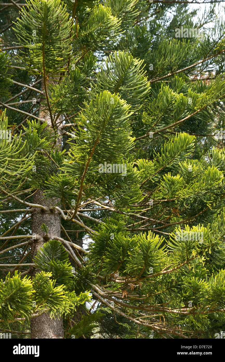 Sin floración pinos encontrados en la Makiki Loop Trail en la isla de Oahu, Hawaii Foto de stock