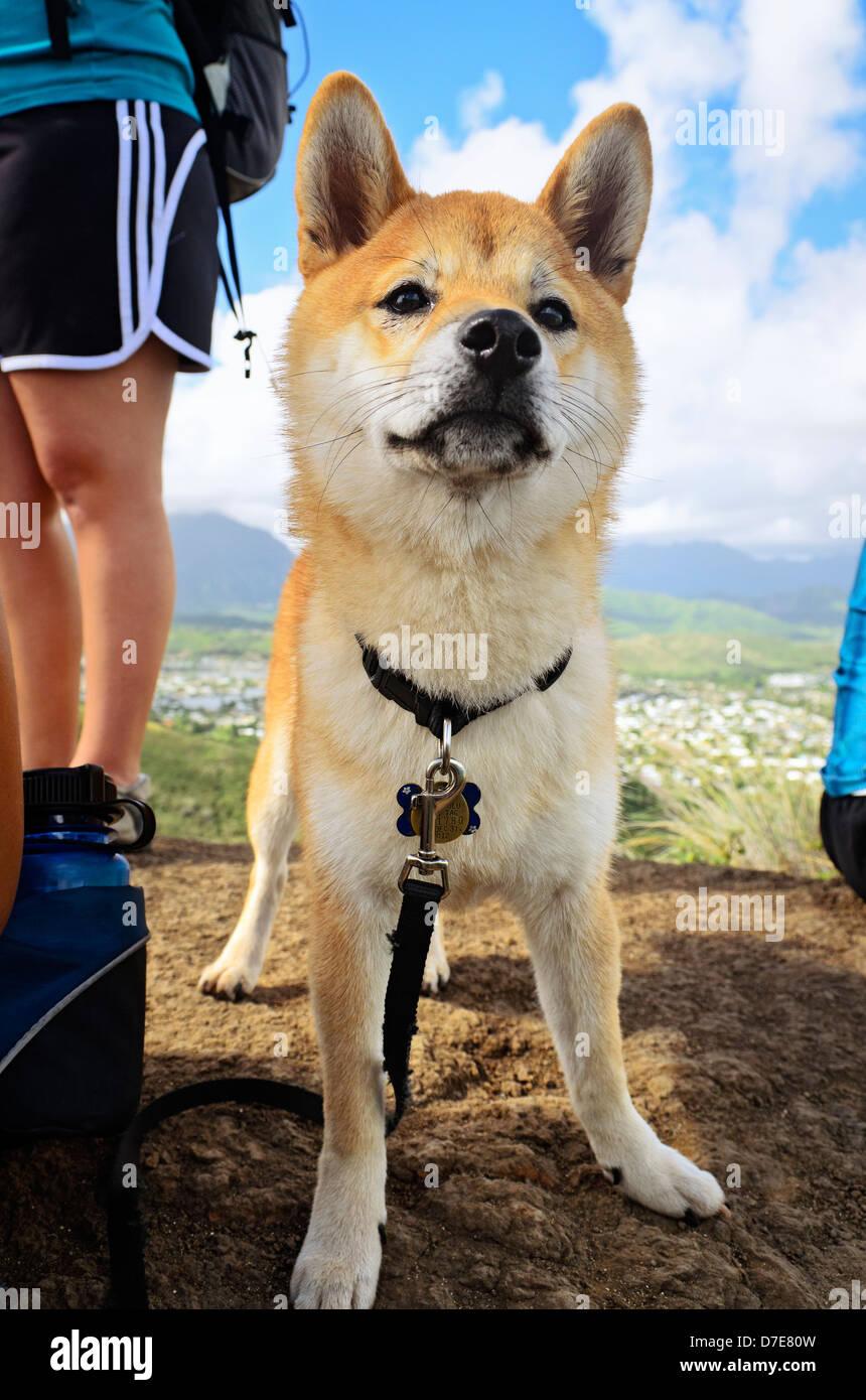 Un perro shiba inu después de una larga caminata. Foto de stock