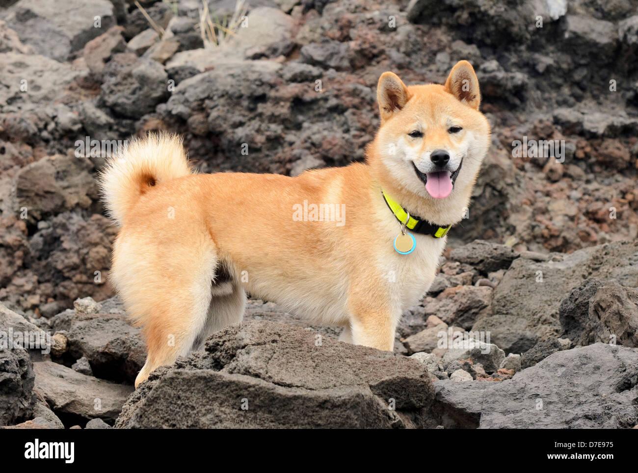 Shiba inu en una caminata Foto de stock