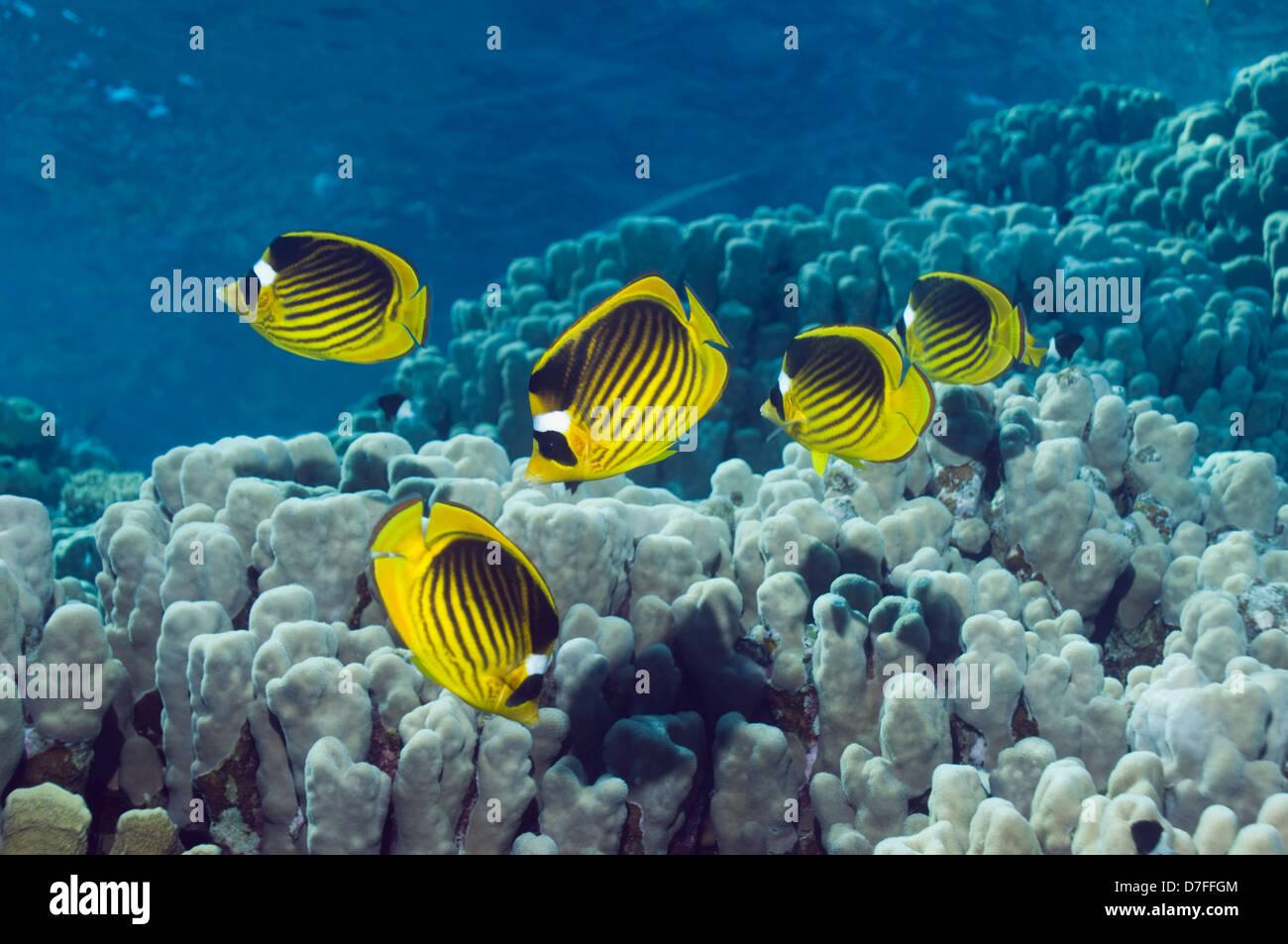 Mar Rojo raccoon butterflyfish (Chaetodon fasciatus) sobre los arrecifes de coral. Egipto, el Mar Rojo. Imagen De Stock