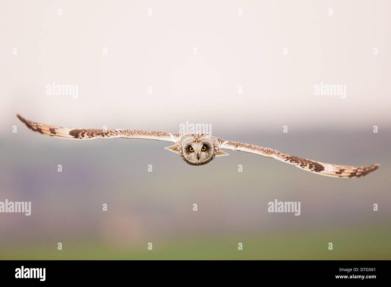 Un búho de orejas cortas (Asio flammeus) en vuelo, la caza en tierras de cultivo Imagen De Stock