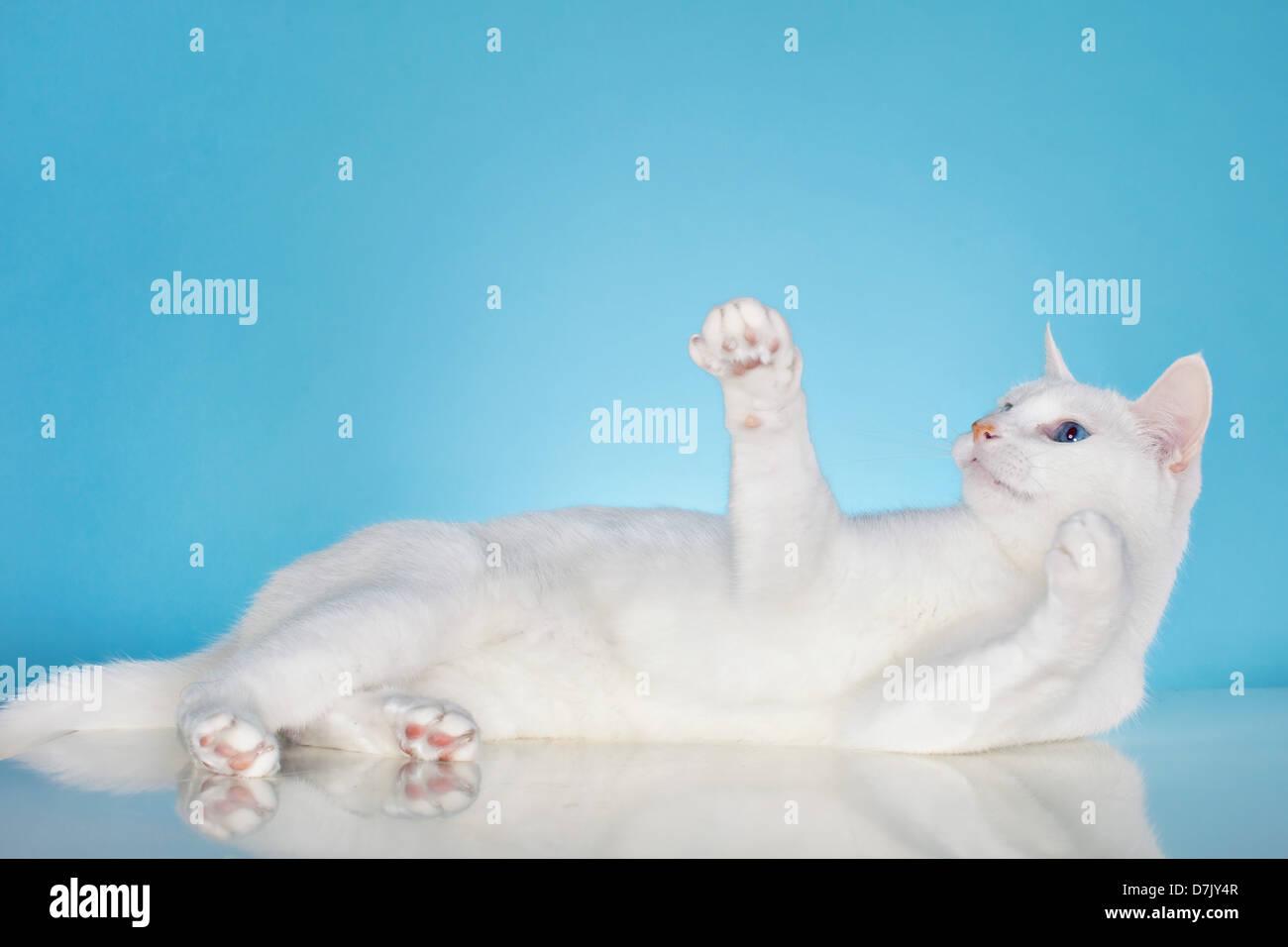Gato blanco puro con ojos azules en buen humor contra el fondo azul. Imagen De Stock